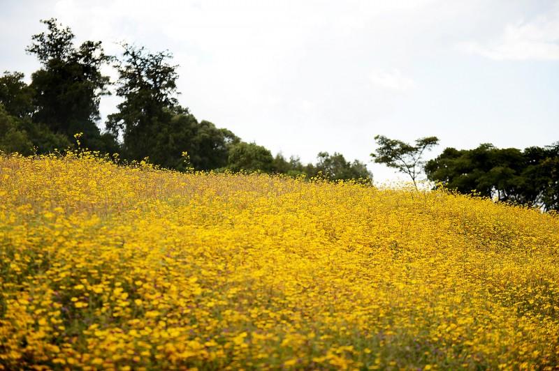 yellow bitterweed