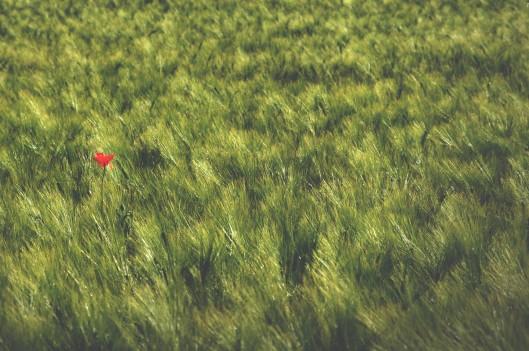 Red flower in a field