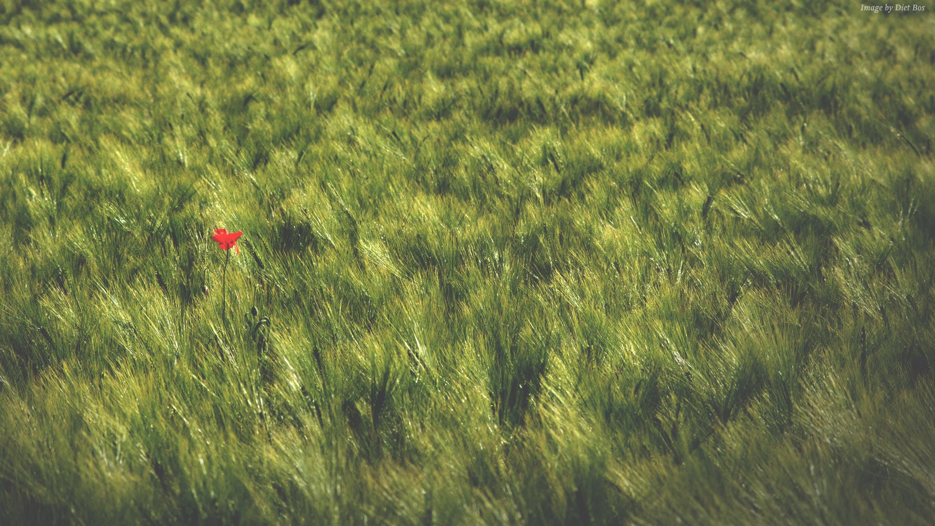 Red flower in a field