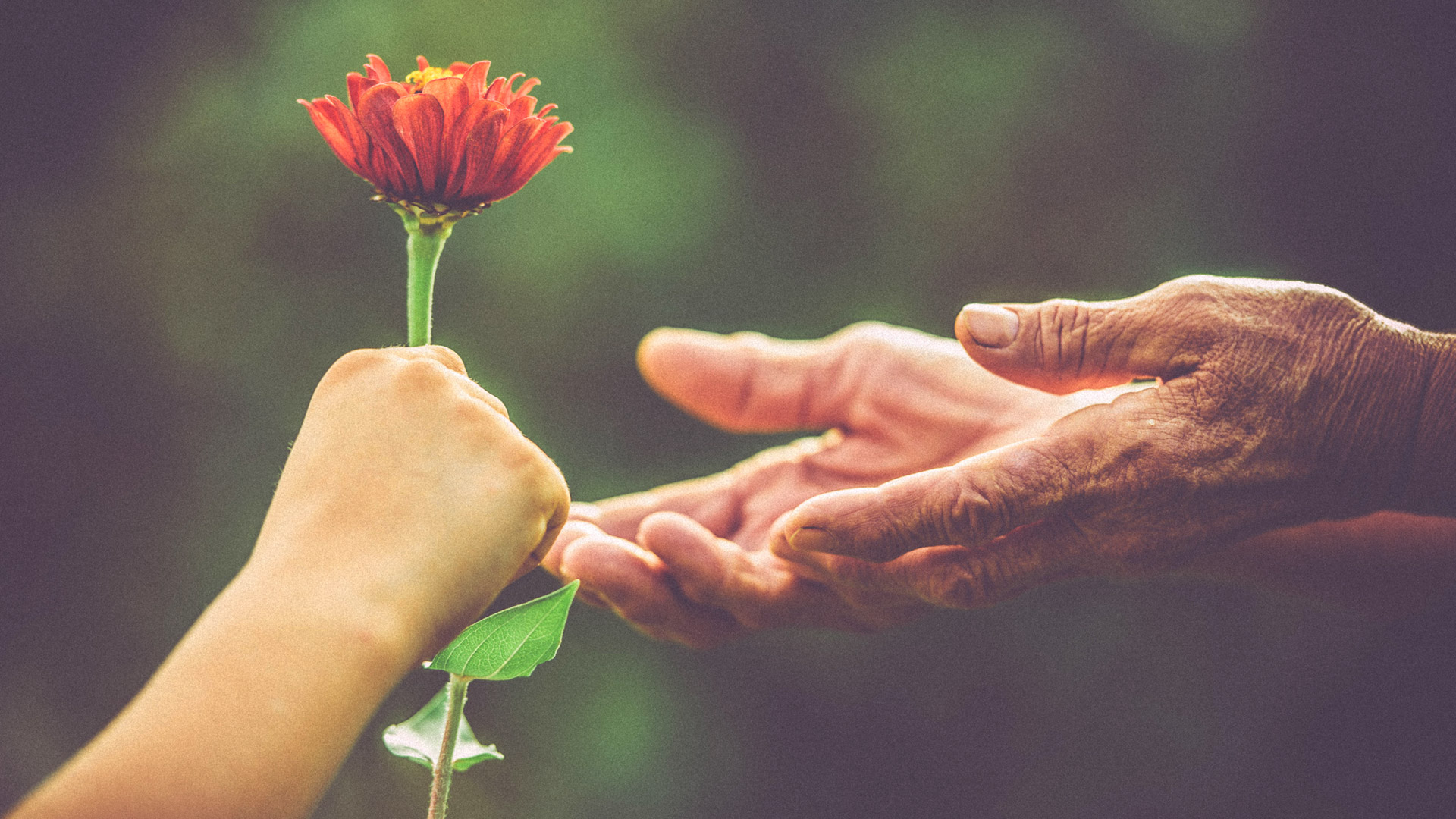 handing elderly person a flower